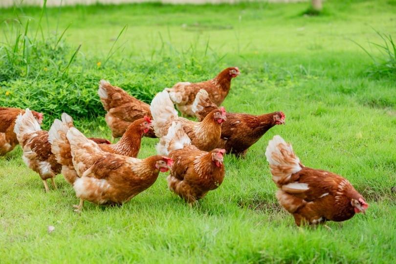 chickens walking_PHATTARAWATOUM_Shutterstock