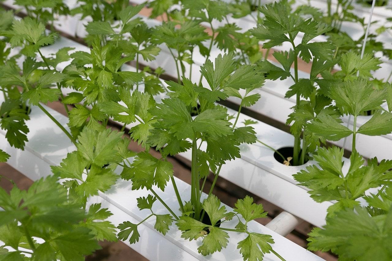 cilantro hyroponics