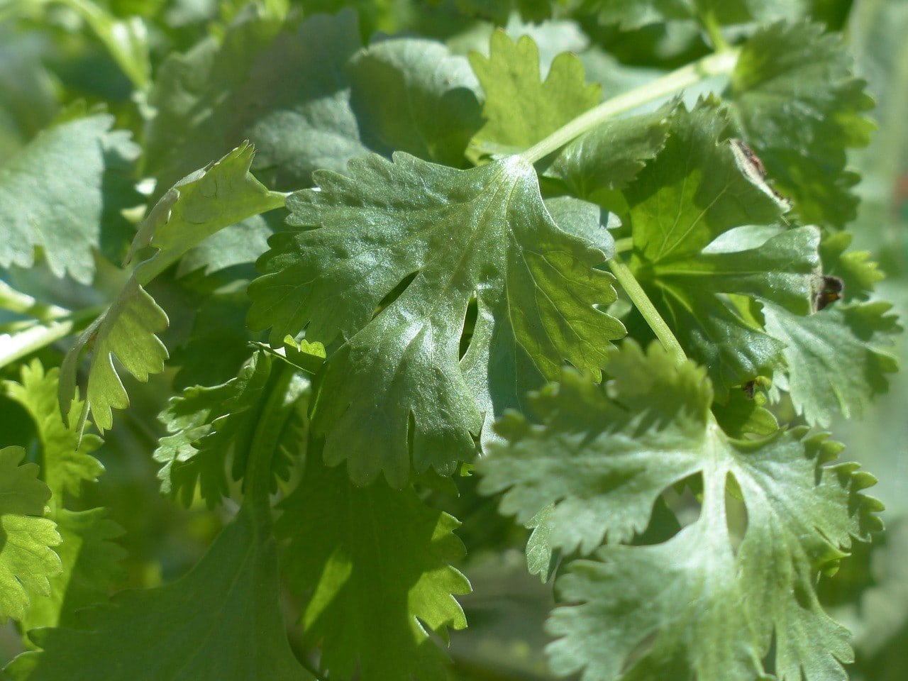 cilantro leaves close up