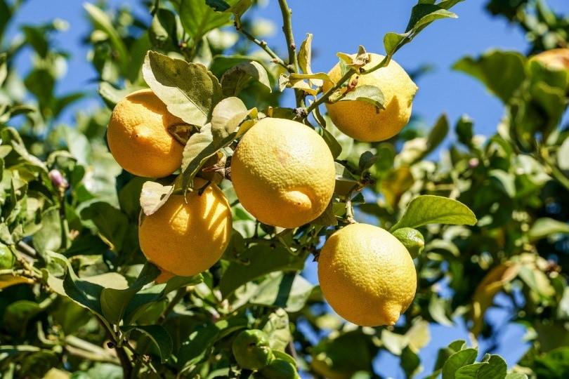 citrus fruit_Condruzfm_Pixabay
