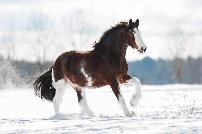 Clydesdale horse_ OlesyaNickolaeva, Shutterstock
