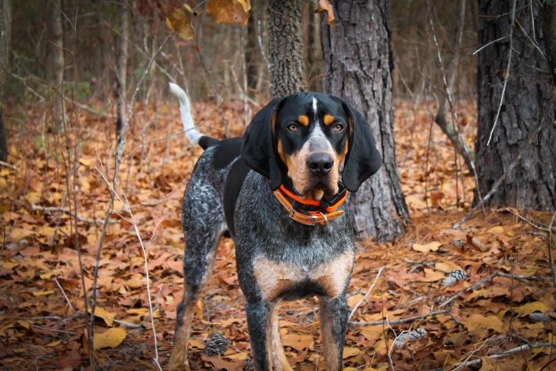 coonhound_Taylor Walter_Shutterstock