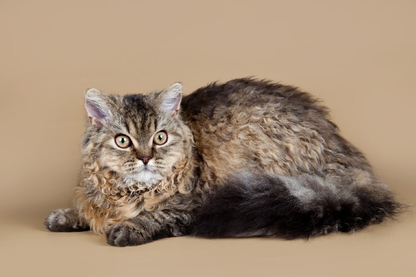 curly-haired selkirk rex cat