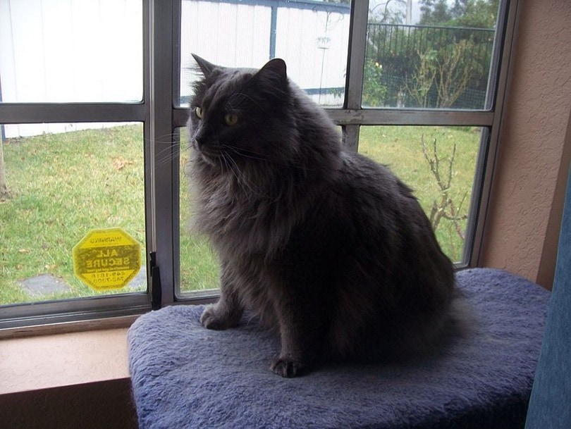 cymric cat_Robertlucien_Wikimedia
