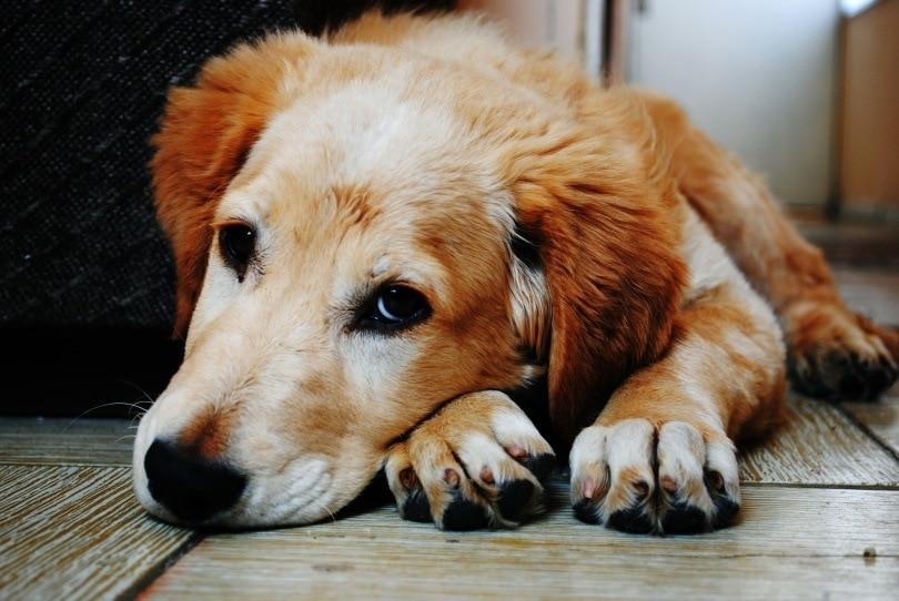 dog lying_Pexels_Pixabay