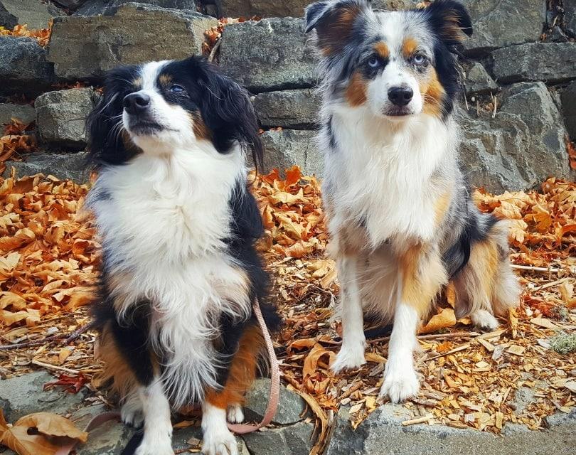 dogs_stanarchy93_Pixabay