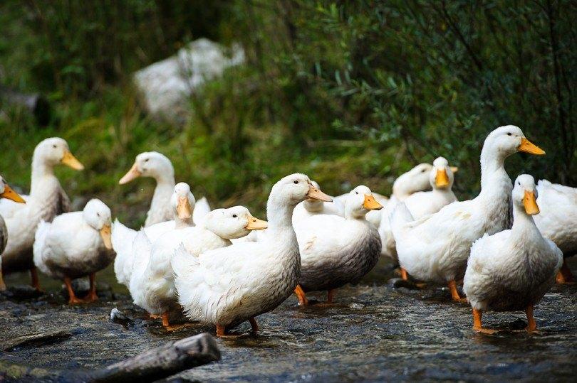 domestic ducks_The Len, Shutterstock
