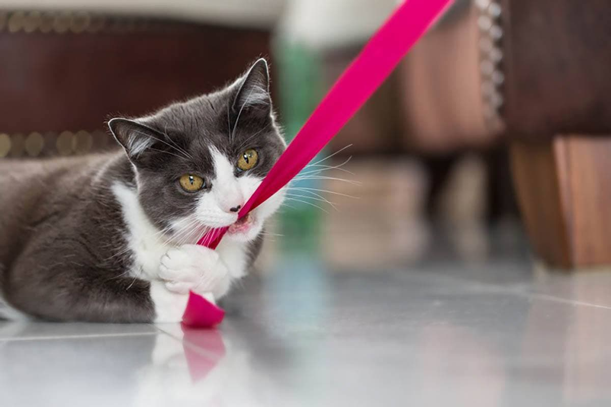 domestic shorthair cat biting into a pink ribbon