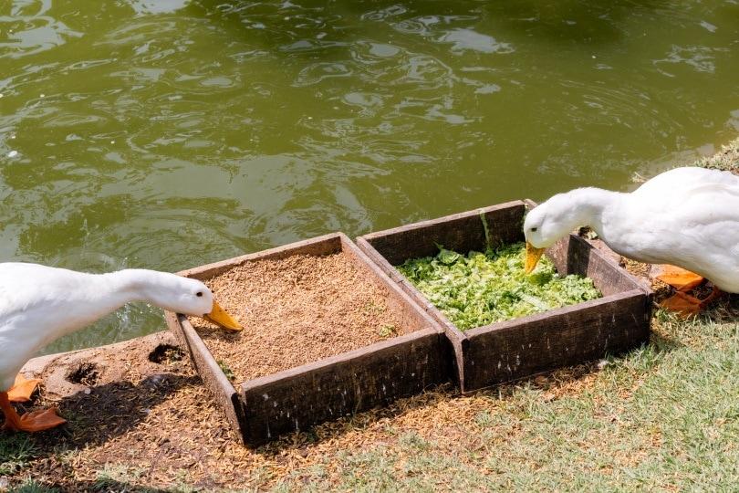 ducks eating_ChaniDAP_Shutterstock