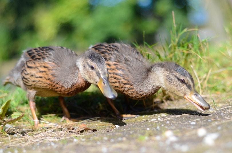 ducks pair_nimmersatt_Shutterstock