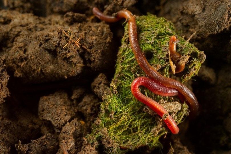 earthworms in fertile soil