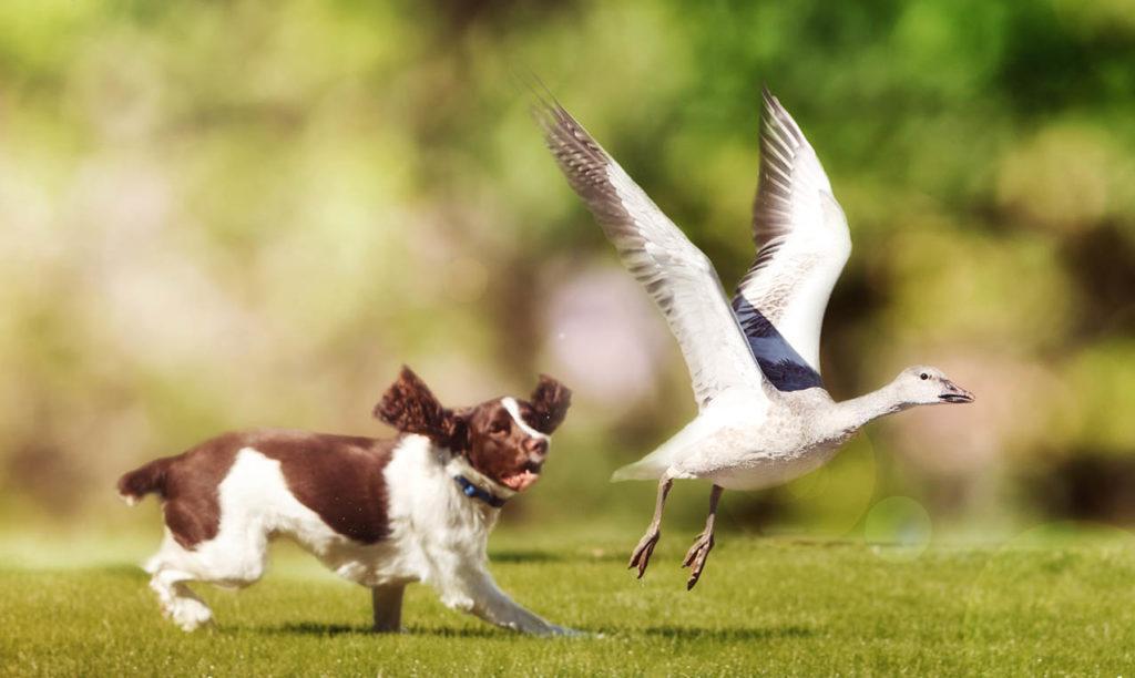 English Springer Spaniel chasing Snow Goose