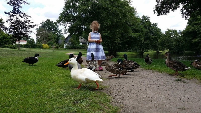 feeding ducks_Dirk (Beeki®) Schumacher_Pixabay