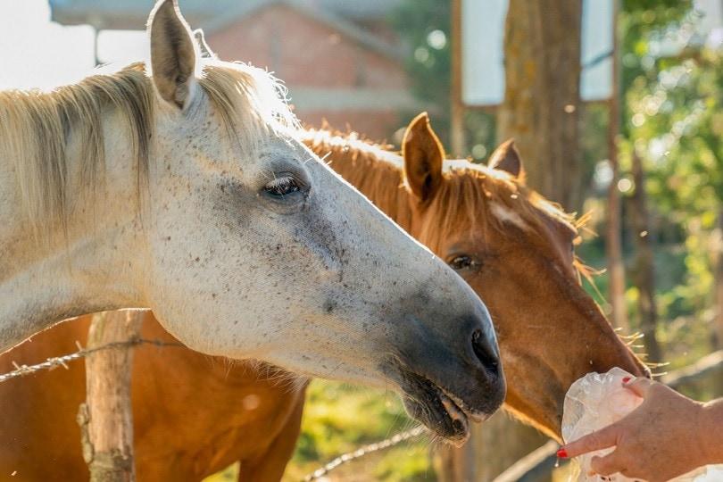 feeding-two-horses_Bilal-Kocabas_shutterstock