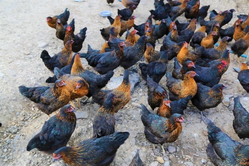 flock of chickens_Piqsels