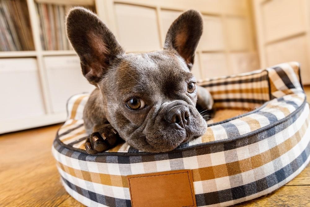 French,Bulldog