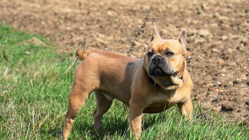 french bulldog_Mylene2401_Pixabay