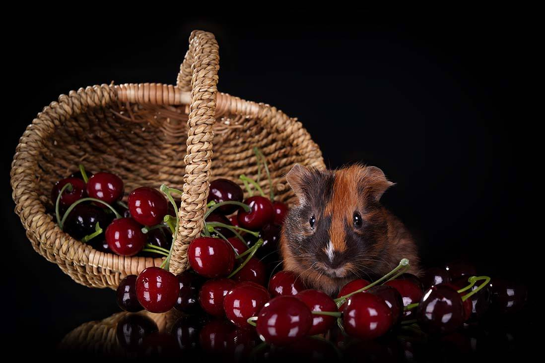 guinea pig and basket of cherries