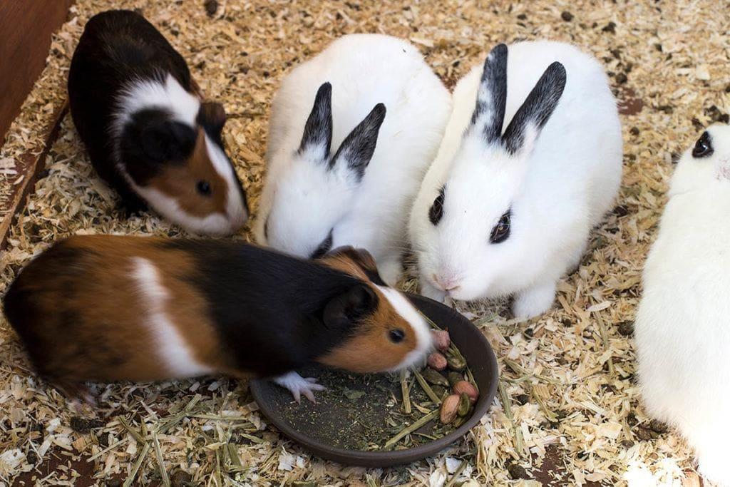 guinea pig eating rabbit food