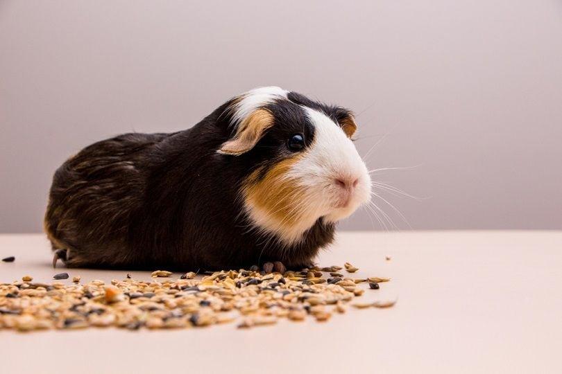 guinea-pig-eating_Julia-Mols_shutterstock