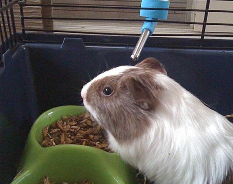 guinea pig eating_Rex tremendae majestatis_Wikimedia