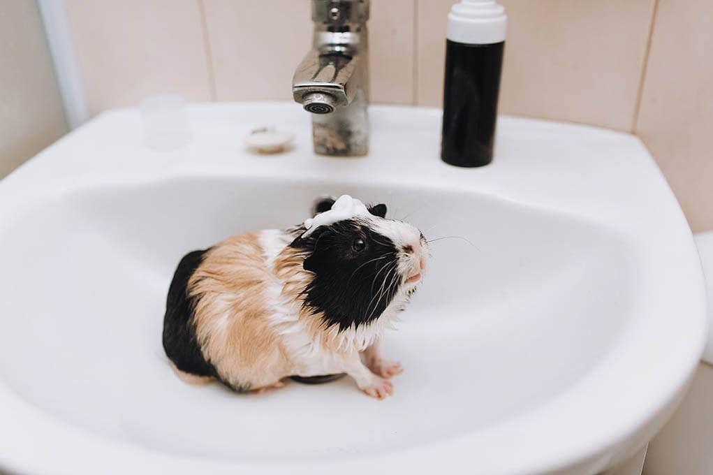 guinea pig in the bathroom sink
