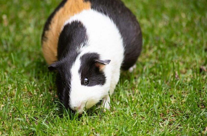guinea pig pregnant_minka2507_Pixabay