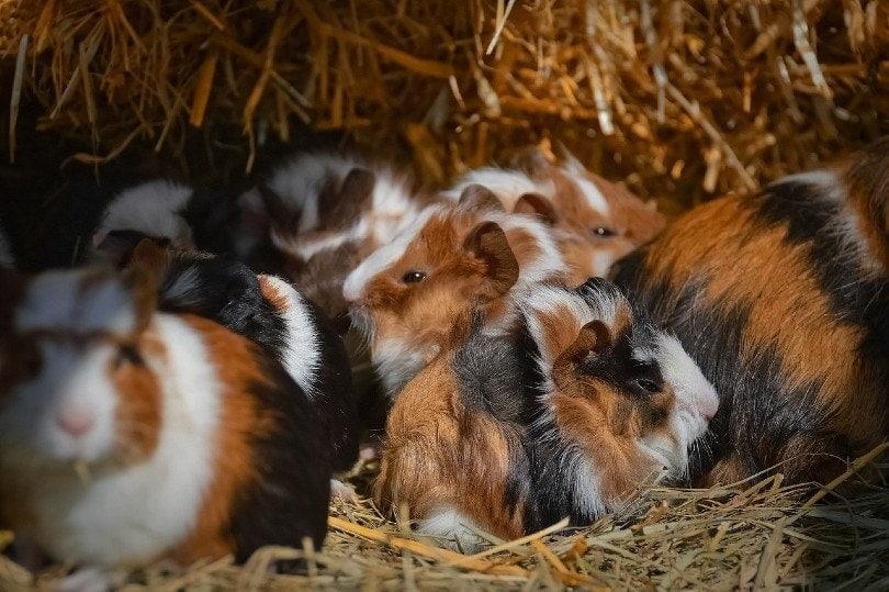 guinea pig puppies