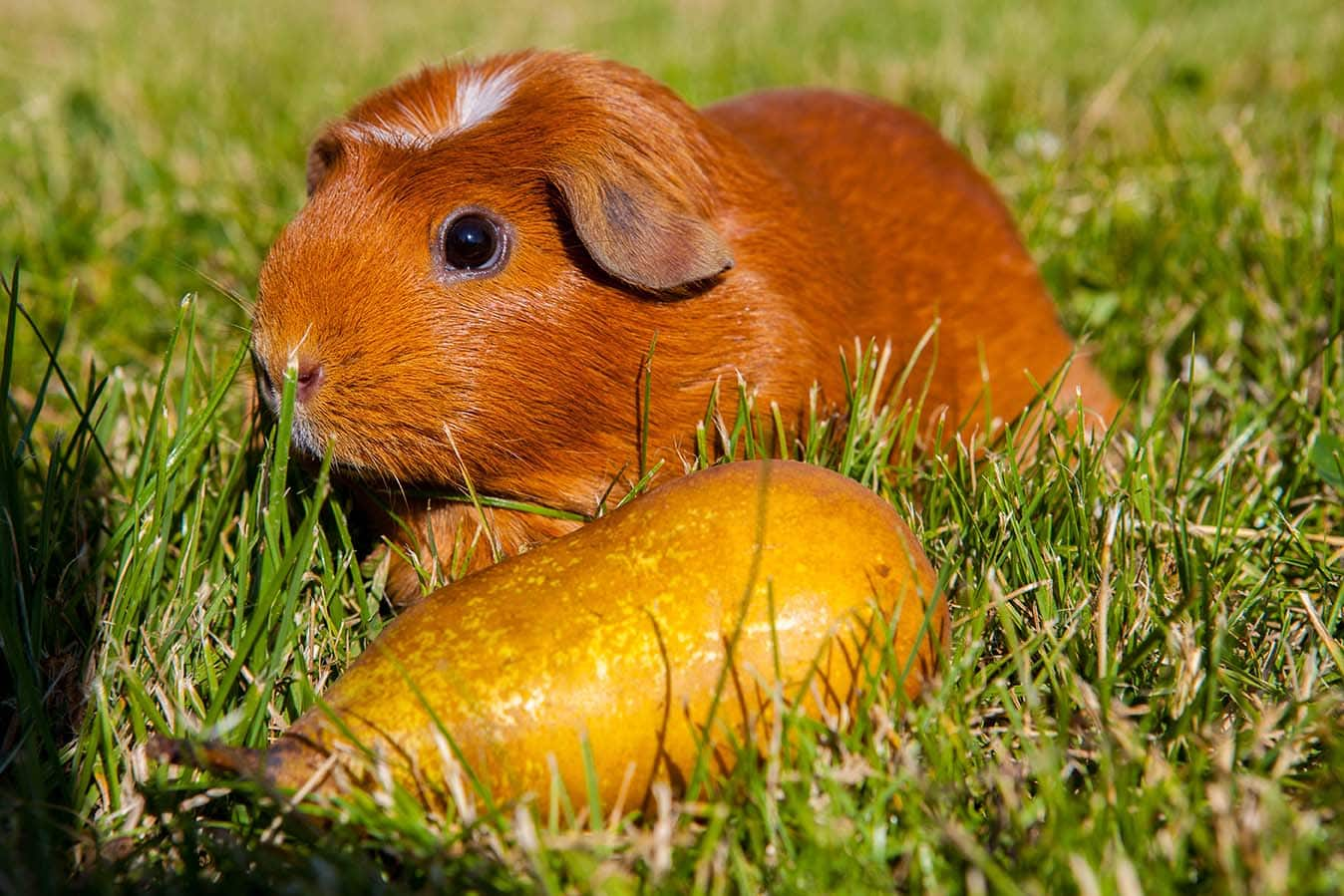 guinea pig with pear on the ground