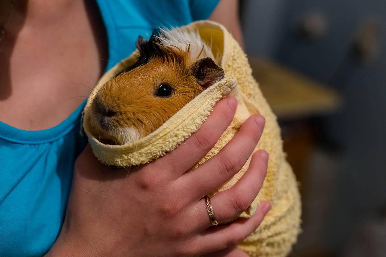 guinea pig wrapped in towel