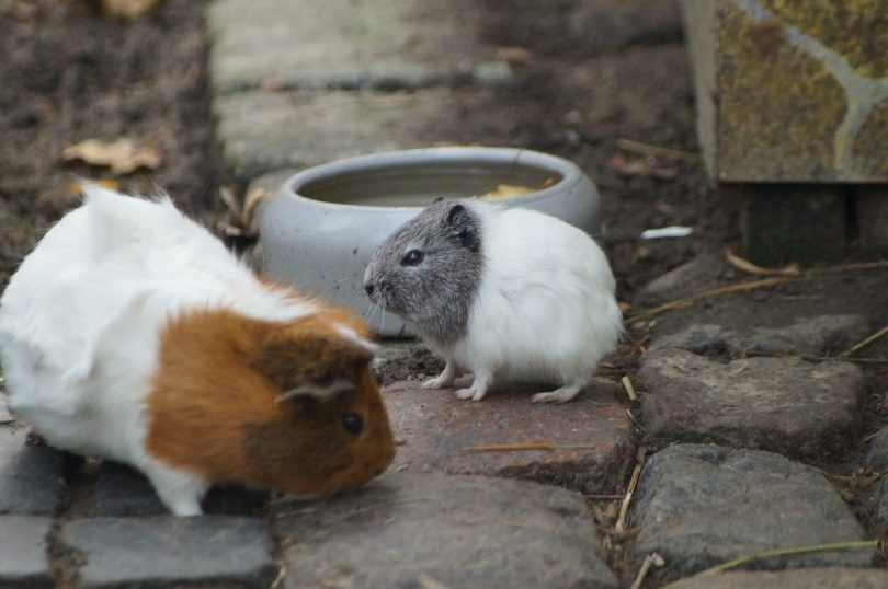 guinea pigs drinking