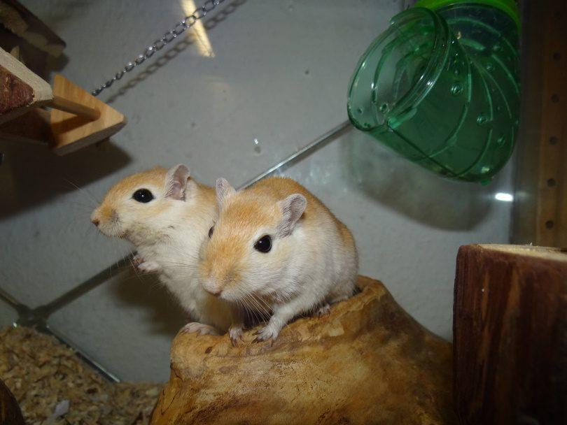 hamster 2_Piqsels