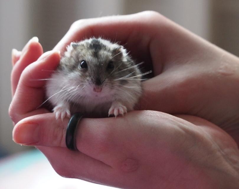 hamster 3_Attila Bódis_Pixabay