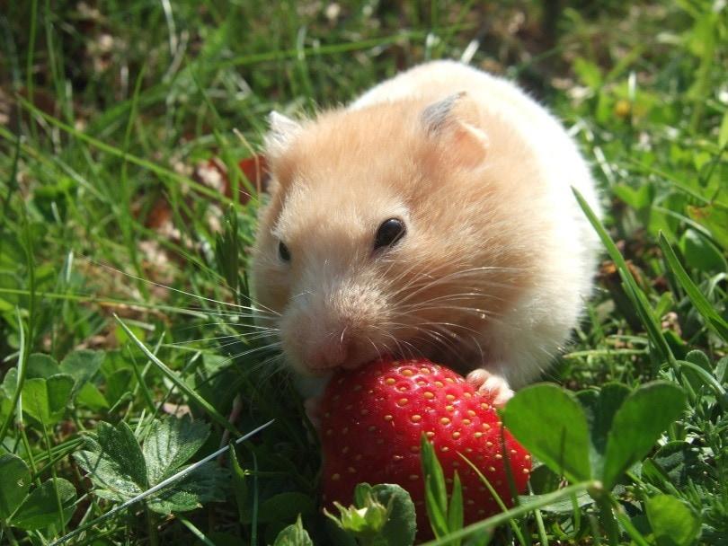 hamster 4_NanaSod_Pixabay