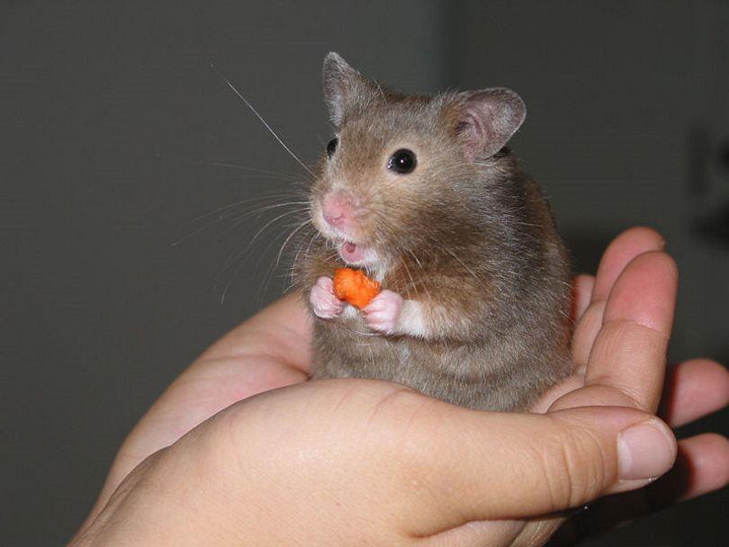 hamster 6_Ikiwaner_Wikimedia