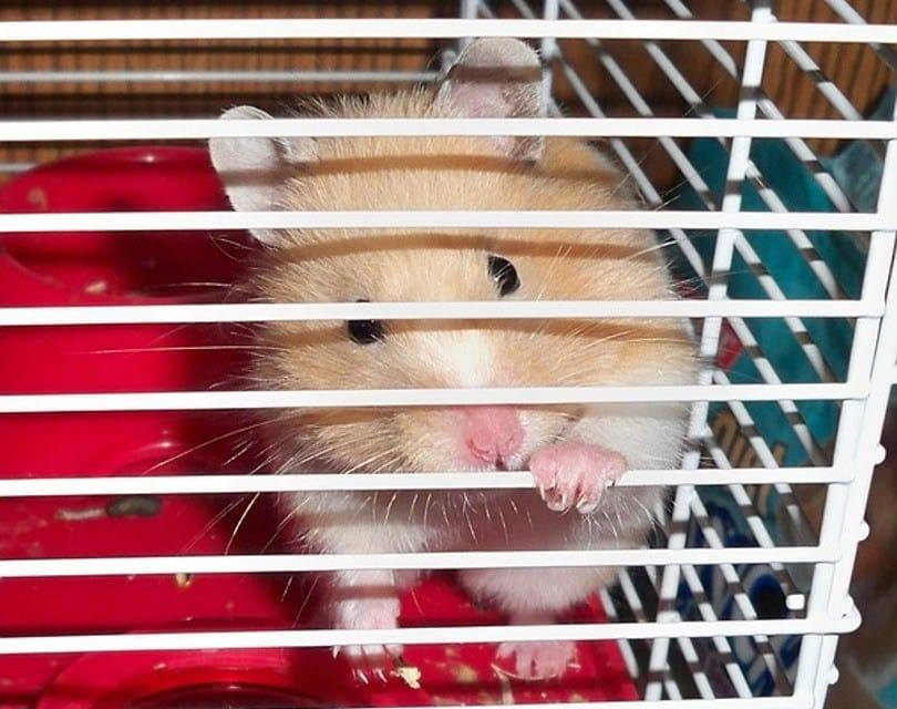 hamster 8_PublicDomainPictures_Pixabay