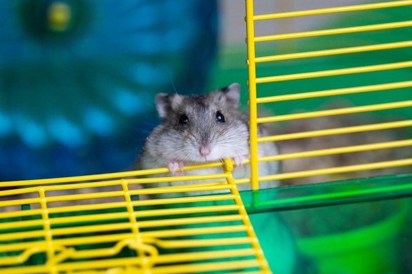 hamster 9_Cindy Parks_Pixabay