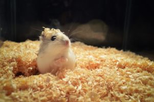 hamster bedding II_ Martin Javorek_Pixabay