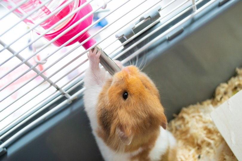 hamster drinking_JessicaGirvan_Shutterstock