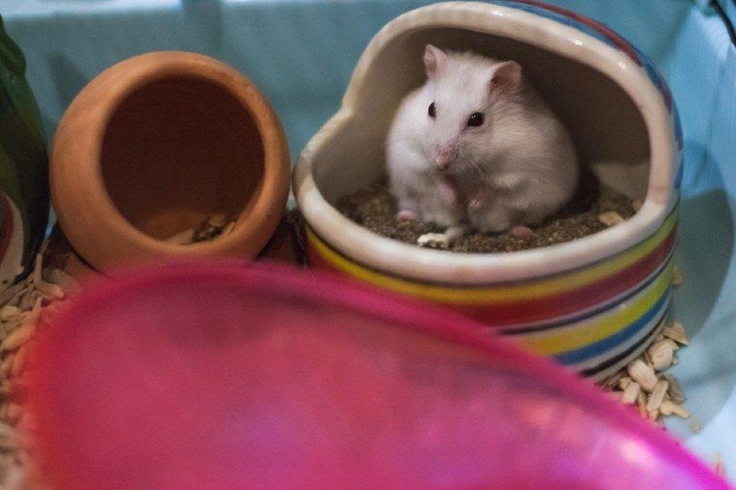 hamster using a hamster potty