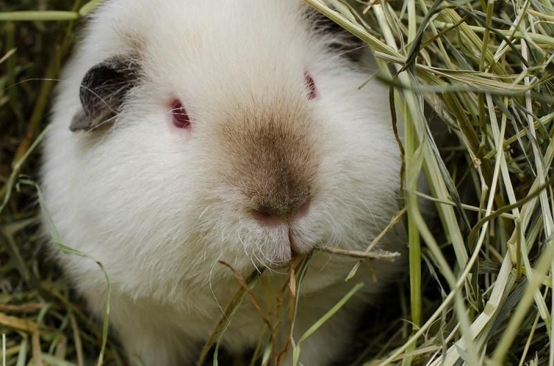 himalayan guinea pig eating hay_Shutterstock_PHOTO FUN