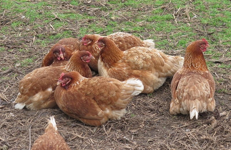 chickens_Peter Turner Photography, Shutterstock