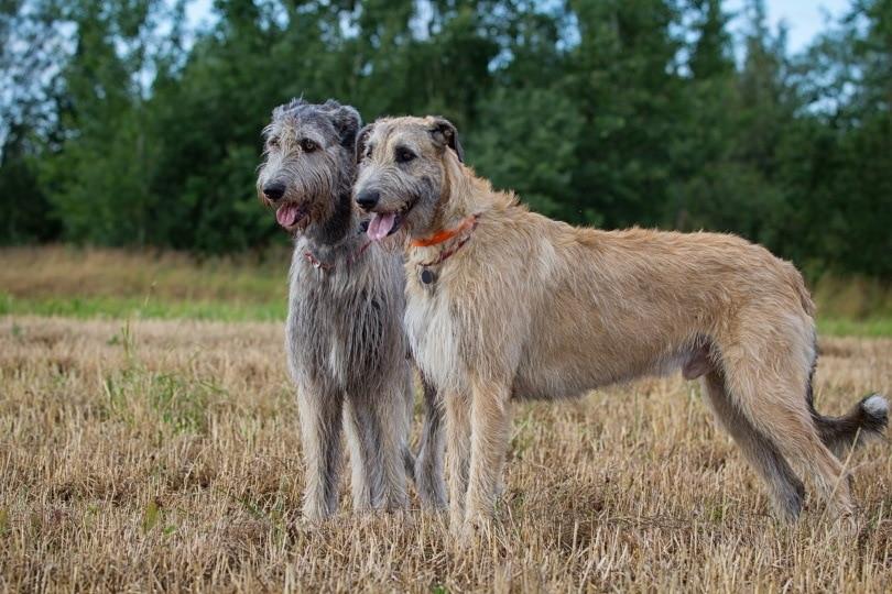 irish wolfhound_DragoNika_Shutterstock