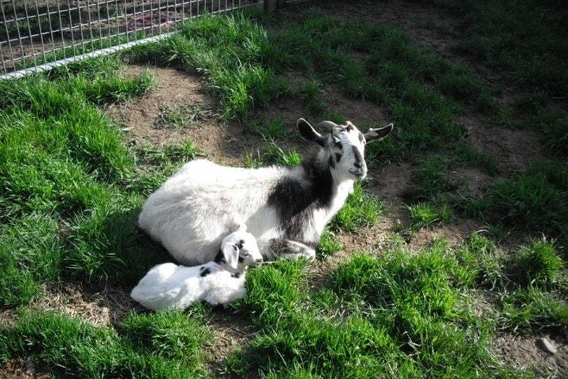 kiko goat with kid