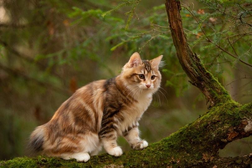 kurilian cat_Natalia Fedosova_Shutterstock