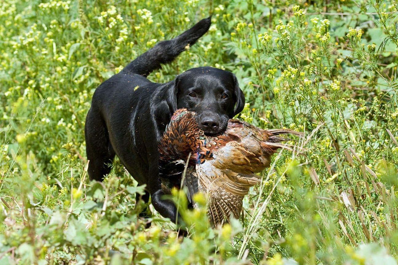labrador retriever with bird