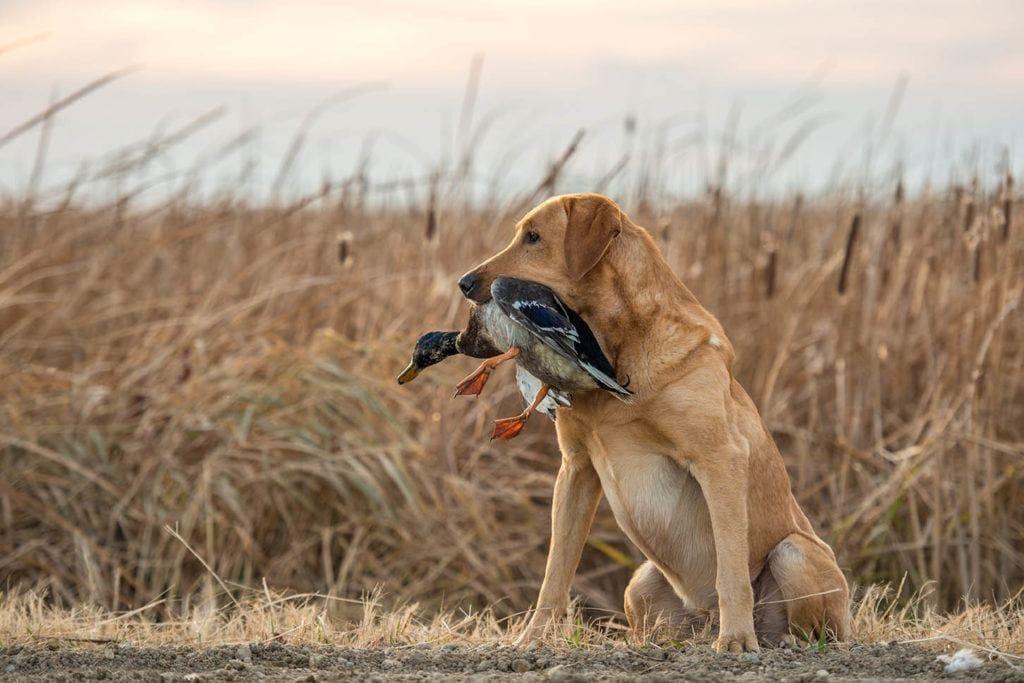 labrador retriever with duck