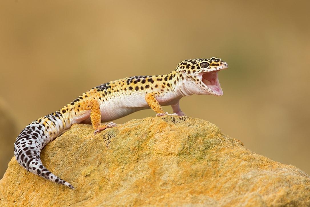 Leopard gecko open mouth