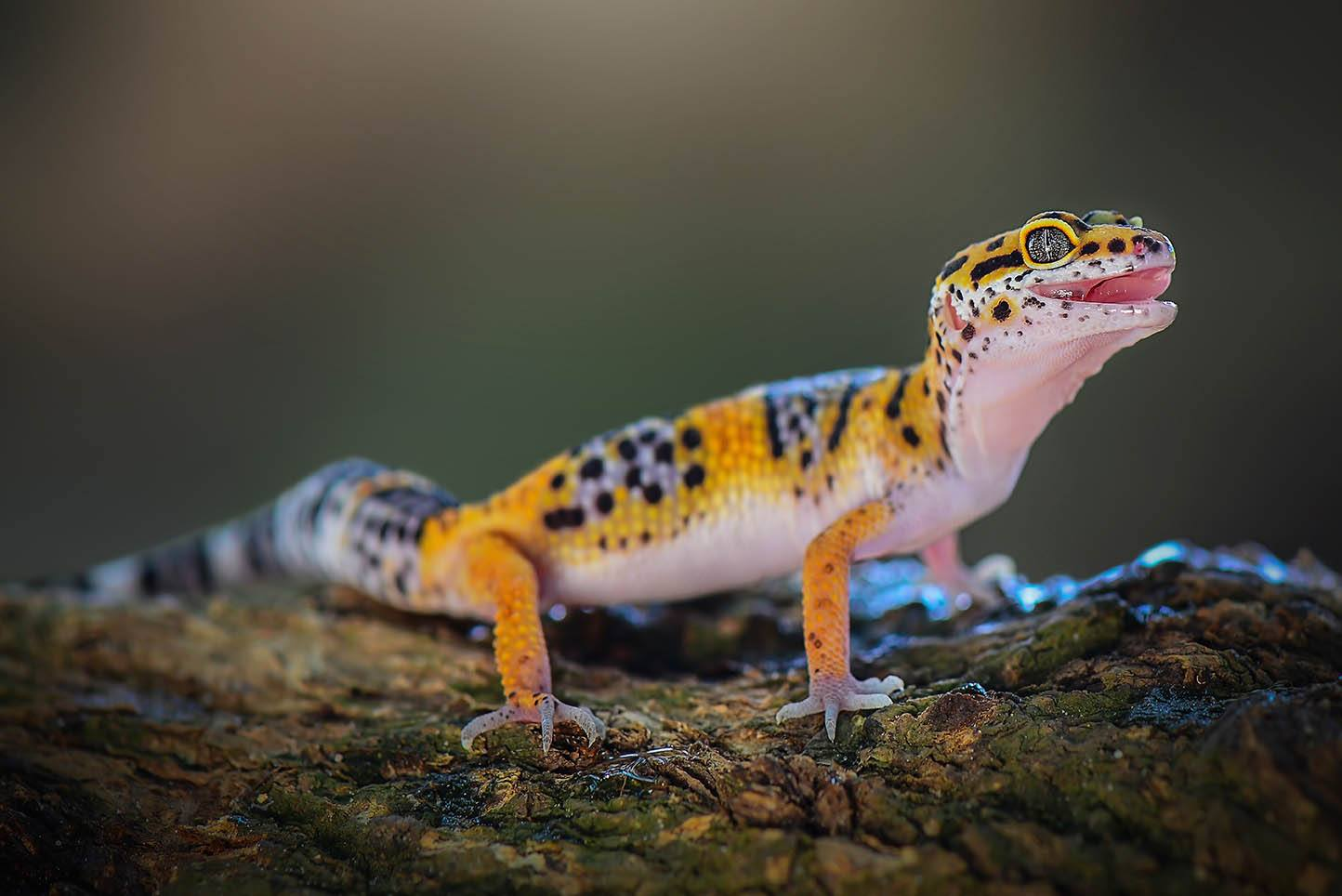 leopard gecko with uvb light