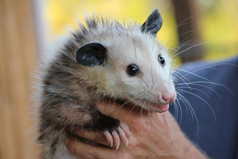 man holding a possum